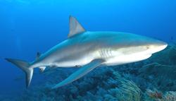 Caribbean Reef Shark[1]