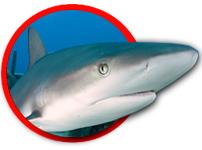 Shark1 Copy